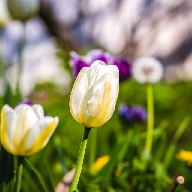 """White Tulips."" stock image"