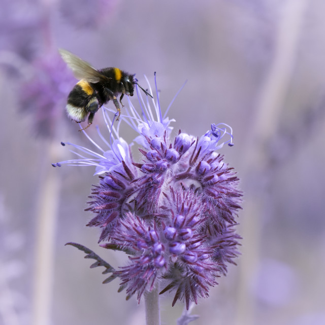 """""""Bumblebee Landing"""" stock image"""