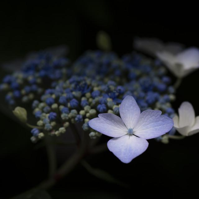 """""""hydrangea beauty"""" stock image"""