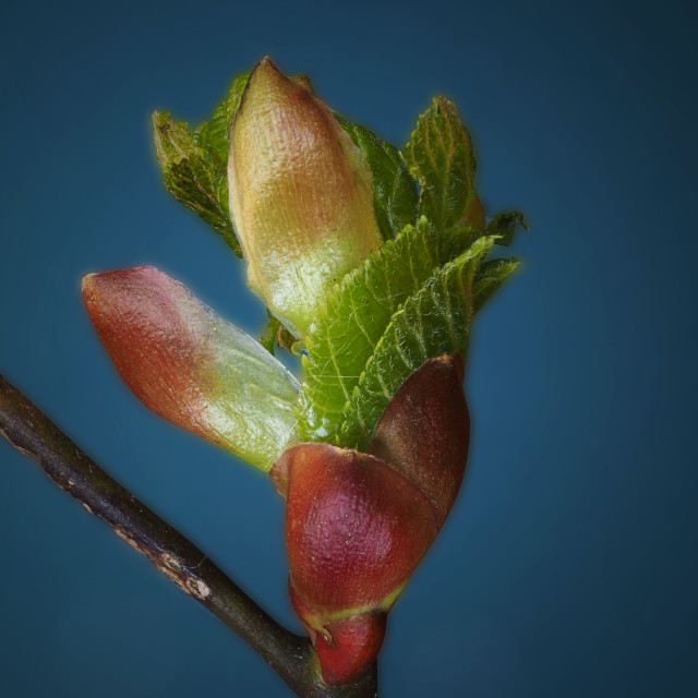 """Beech Tree Buds and Leaves"" stock image"