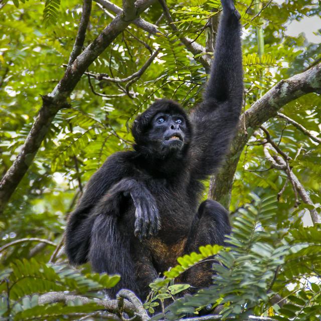 """Black-headed spider monkey"" stock image"