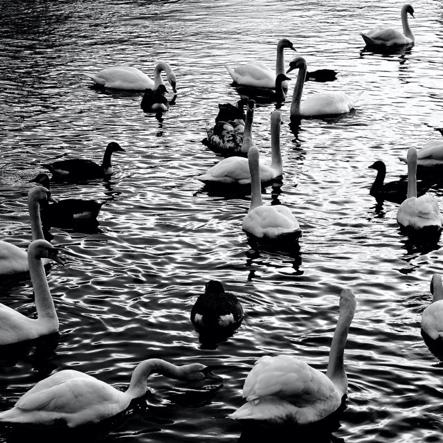 """""""Swans-A-Swimming"""" stock image"""