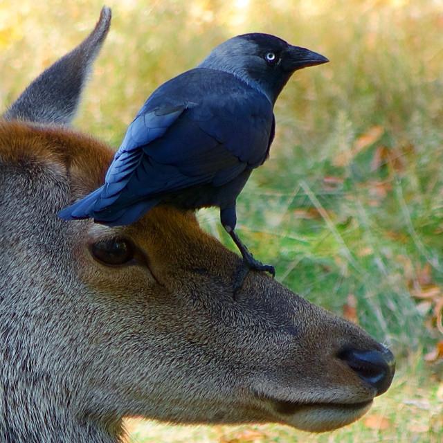 """Crow On A Deer's Head"" stock image"