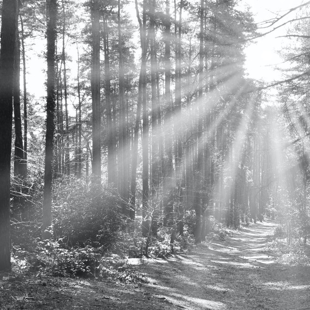 """""""Sunrays And Trees"""" stock image"""