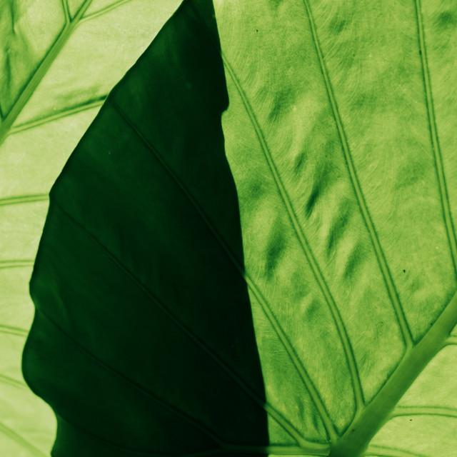 """""""Aroid leaf"""" stock image"""