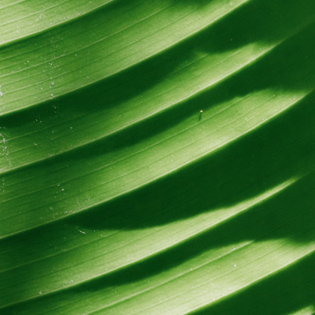 """Banana leaf"" stock image"
