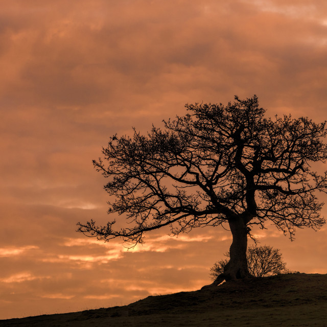 """Single Tree Chatsworth"" stock image"