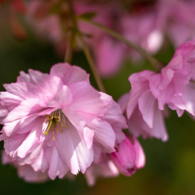 """Apple Blossom"" stock image"