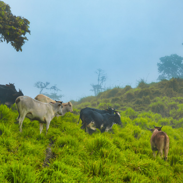 """""""Cows in the Andes Mountains"""" stock image"""