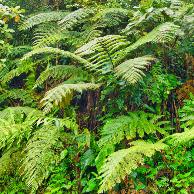 """""""Fern Growing In Tropical Rainforest"""" stock image"""