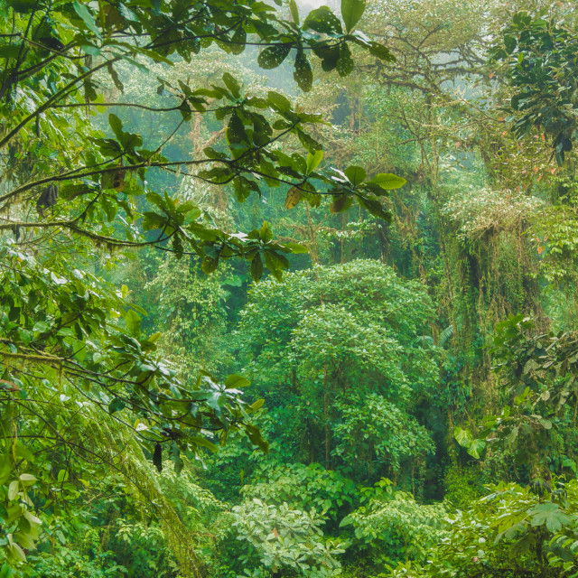 """""""The Tropical Jungle in the Andes"""" stock image"""