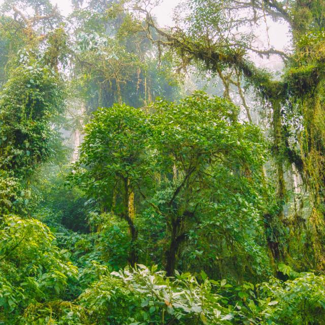"""""""Fog Settling In Tropical Rainforest"""" stock image"""