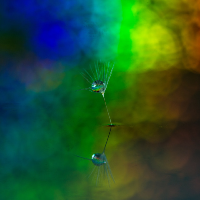 """""""A dandelion seed holographic"""" stock image"""