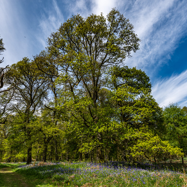 """""""Bluebell forest"""" stock image"""