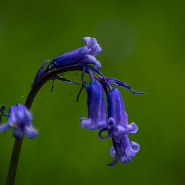 """""""Bluebell"""" stock image"""