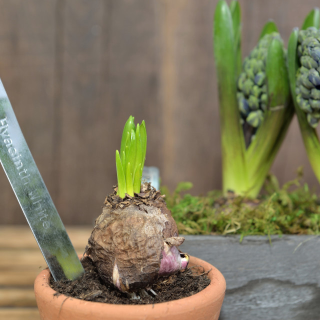 """""""close on hyacinth growing in a flower pot on wooden background"""" stock image"""
