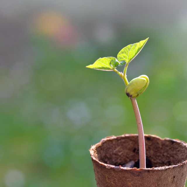 """""""close on sprout of a bean growing in a peat pot in garden"""" stock image"""