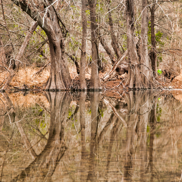"""""""Tall Trees Reflecting in Water"""" stock image"""
