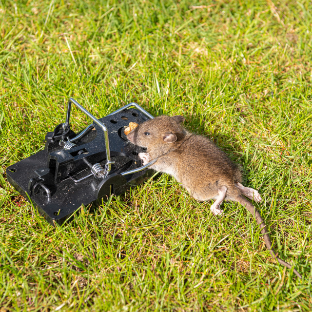 """Young Brown Rat caught in a trap"" stock image"