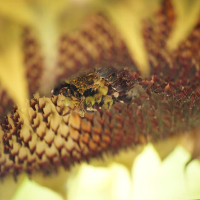 """Sundflower close"" stock image"