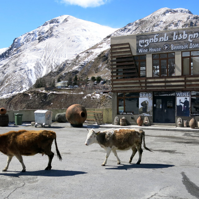"""Cows in Kazbegi, Georgia"" stock image"
