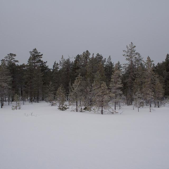 """""""Kandalaksha Pine Forest"""" stock image"""