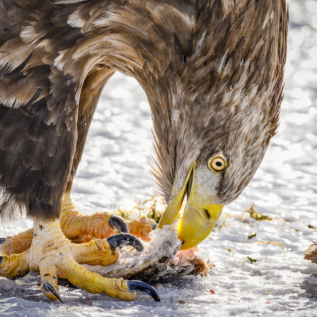 """White-Tailed Sea Eagle Feeding"" stock image"