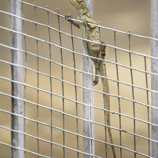 """Garden lizard on a gate"" stock image"