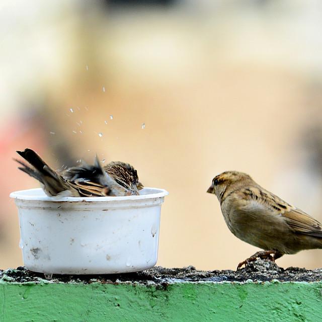 """Sparrow bath time"" stock image"