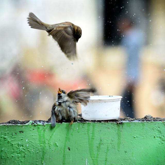"""""""Sparrows fighting over water"""" stock image"""
