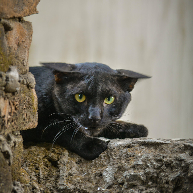 """""""A wild cat looking like a panther"""" stock image"""