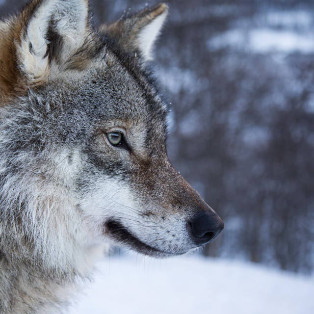 """""""Eye of the Wolf"""" stock image"""