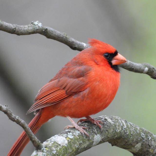 """""""Cardinal"""" stock image"""