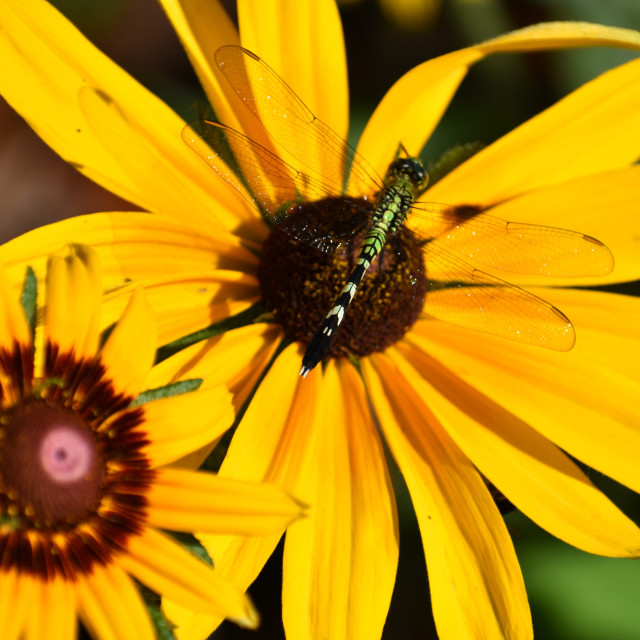 """""""Dragonfly and Black-eyed Susan"""" stock image"""