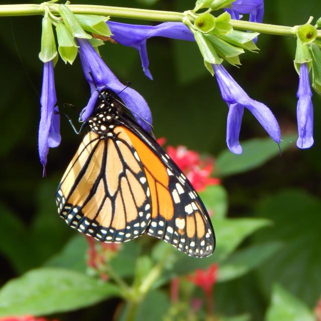 """Hanging Monarch"" stock image"