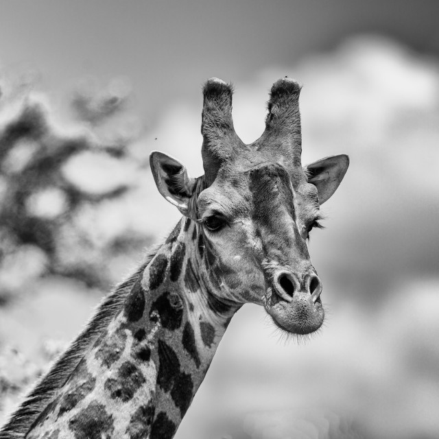 """Giraffe head bnw"" stock image"