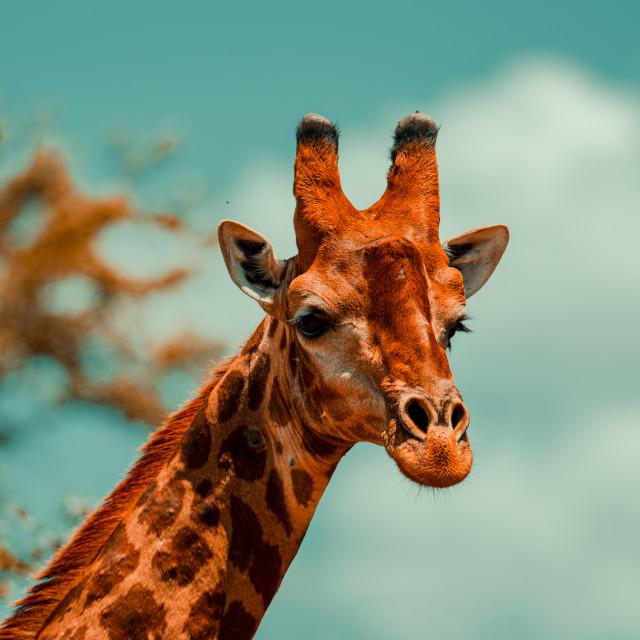 """Giraffe head"" stock image"