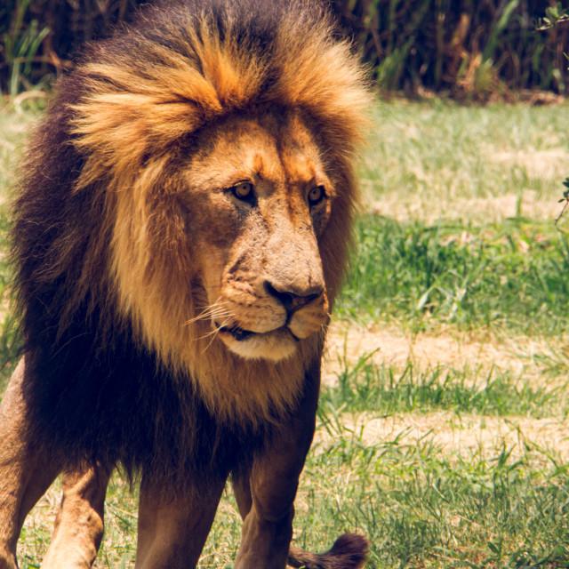 """lion male"" stock image"