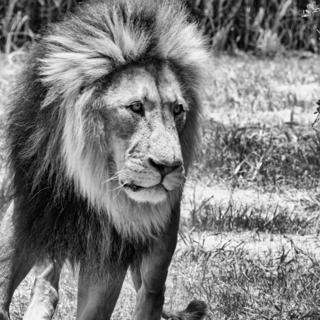 """""""Lion male bnw"""" stock image"""