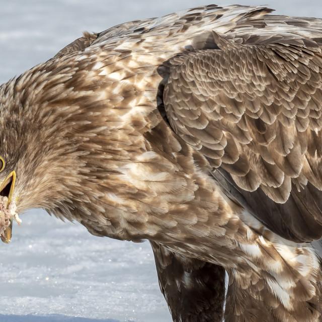 """White-Tailed Sea Eagle Feeding 01"" stock image"