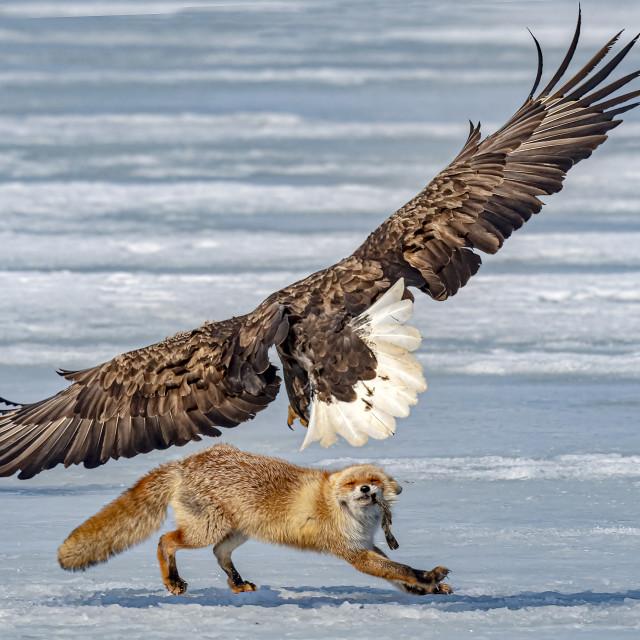"""Fox VS Eagle 01"" stock image"