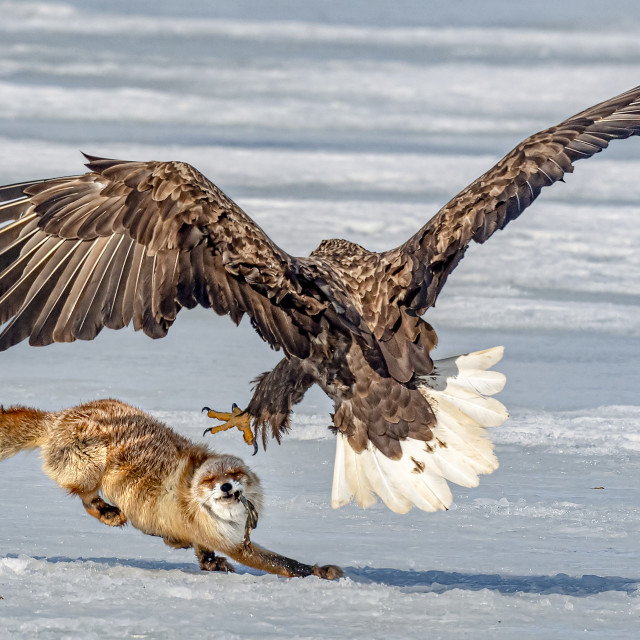 """Fox VS Eagle 02"" stock image"