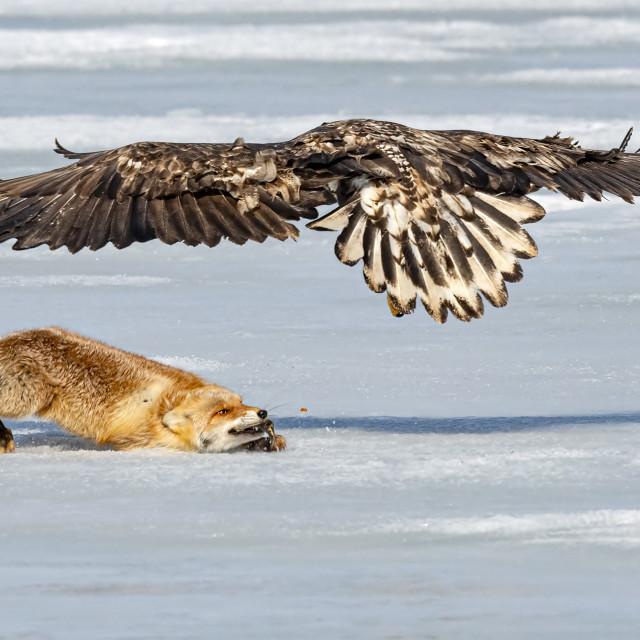 """Fox VS Eagle 04"" stock image"