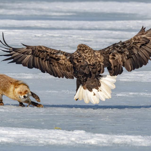 """Fox VS Eagle 03"" stock image"
