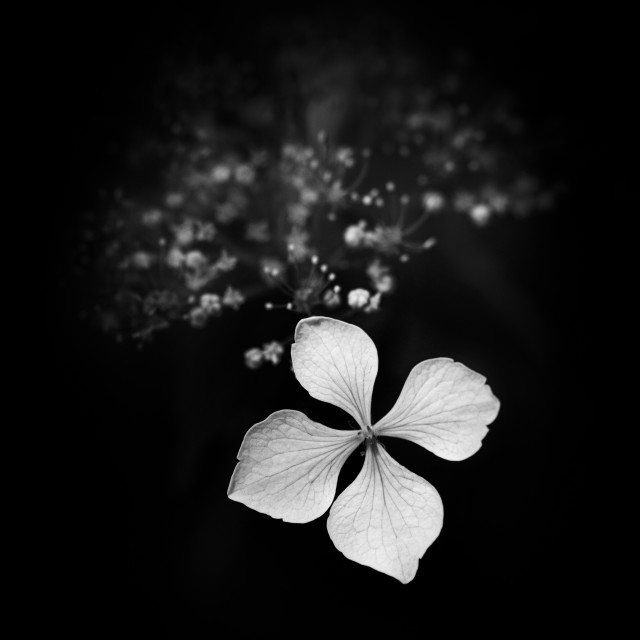 """Black and White Hydrangea"" stock image"