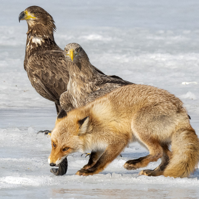 """Fox VS Eagle 05"" stock image"