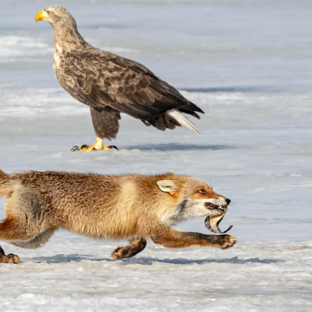 """Fox VS Eagle 08"" stock image"