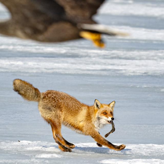 """Fox VS Eagle 009"" stock image"