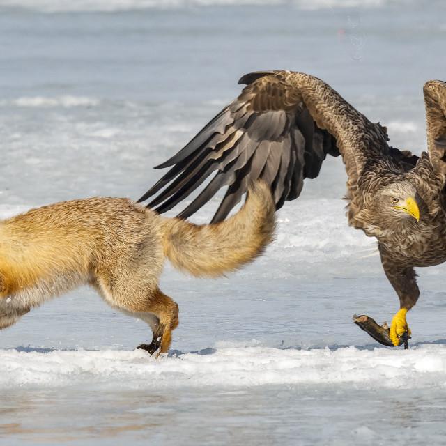 """Fox VS Eagle 07"" stock image"