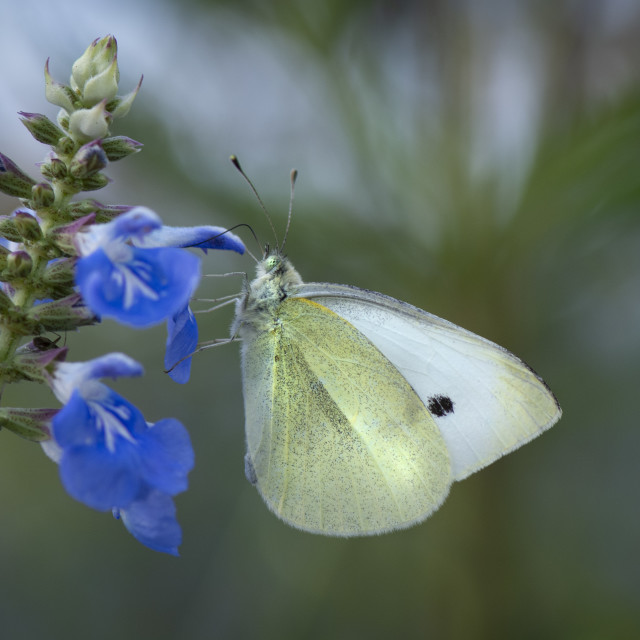 """""""butterfly on flower"""" stock image"""